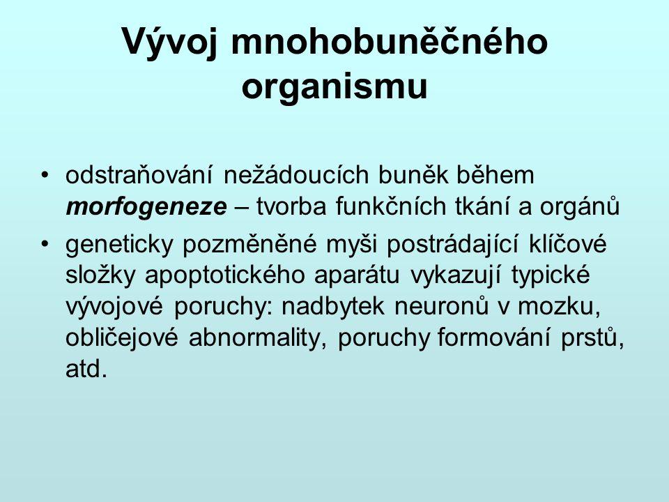 Vývoj mnohobuněčného organismu odstraňování nežádoucích buněk během morfogeneze – tvorba funkčních tkání a orgánů geneticky pozměněné myši postrádajíc