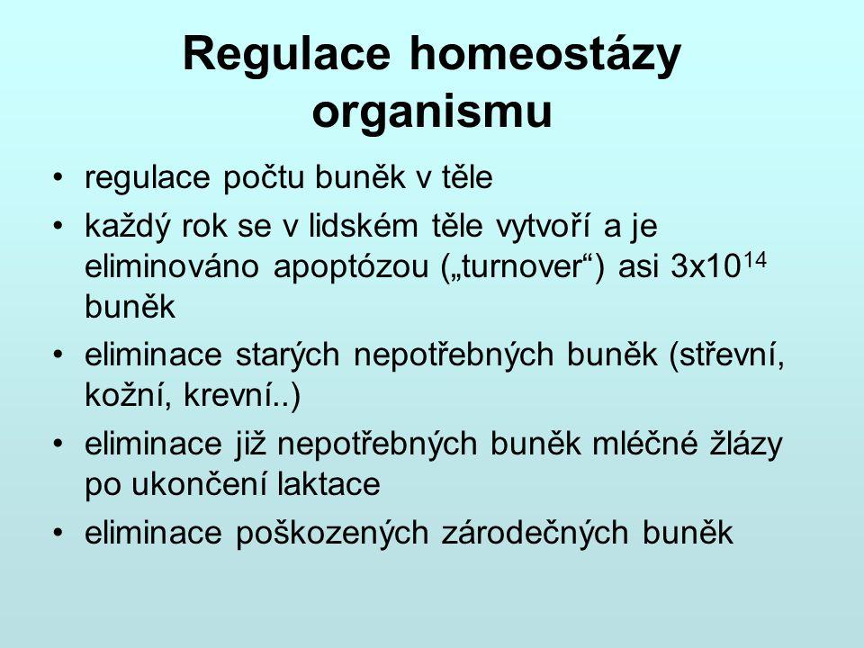 """Regulace homeostázy organismu regulace počtu buněk v těle každý rok se v lidském těle vytvoří a je eliminováno apoptózou (""""turnover"""") asi 3x10 14 buně"""