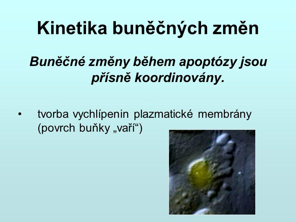 """Kinetika buněčných změn Buněčné změny během apoptózy jsou přísně koordinovány. tvorba vychlípenin plazmatické membrány (povrch buňky """"vaří"""")"""