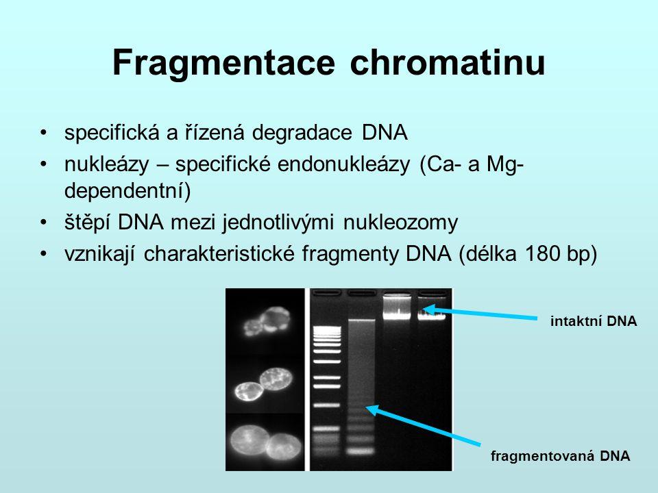 Fragmentace chromatinu specifická a řízená degradace DNA nukleázy – specifické endonukleázy (Ca- a Mg- dependentní) štěpí DNA mezi jednotlivými nukleo