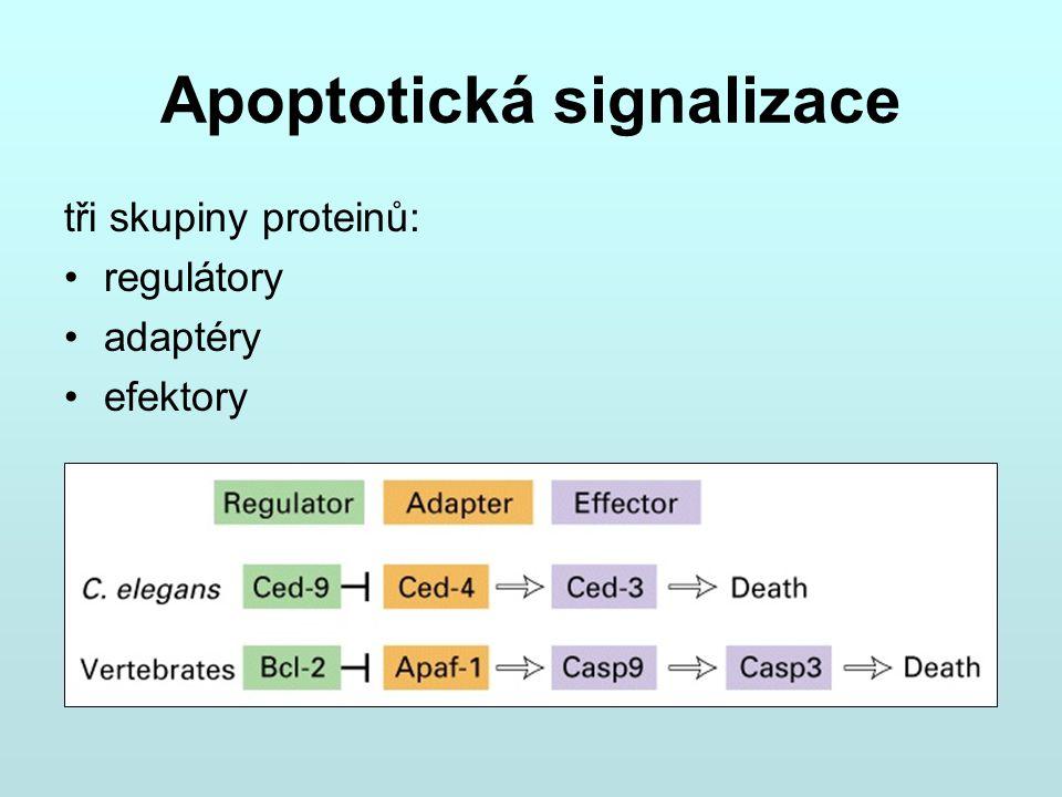 Apoptotická signalizace tři skupiny proteinů: regulátory adaptéry efektory