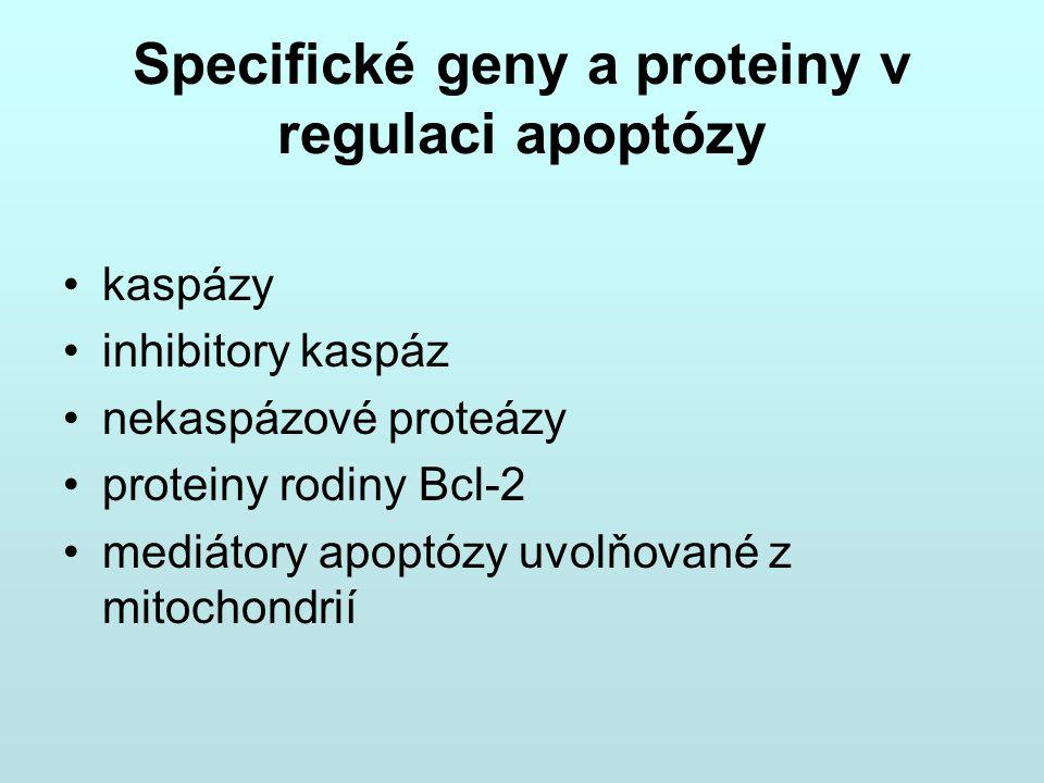 Specifické geny a proteiny v regulaci apoptózy kaspázy inhibitory kaspáz nekaspázové proteázy proteiny rodiny Bcl-2 mediátory apoptózy uvolňované z mi