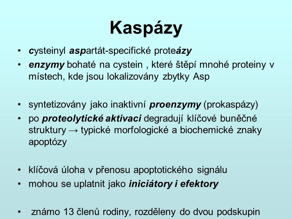 Kaspázy cysteinyl aspartát-specifické proteázy enzymy bohaté na cystein, které štěpí mnohé proteiny v místech, kde jsou lokalizovány zbytky Asp syntet