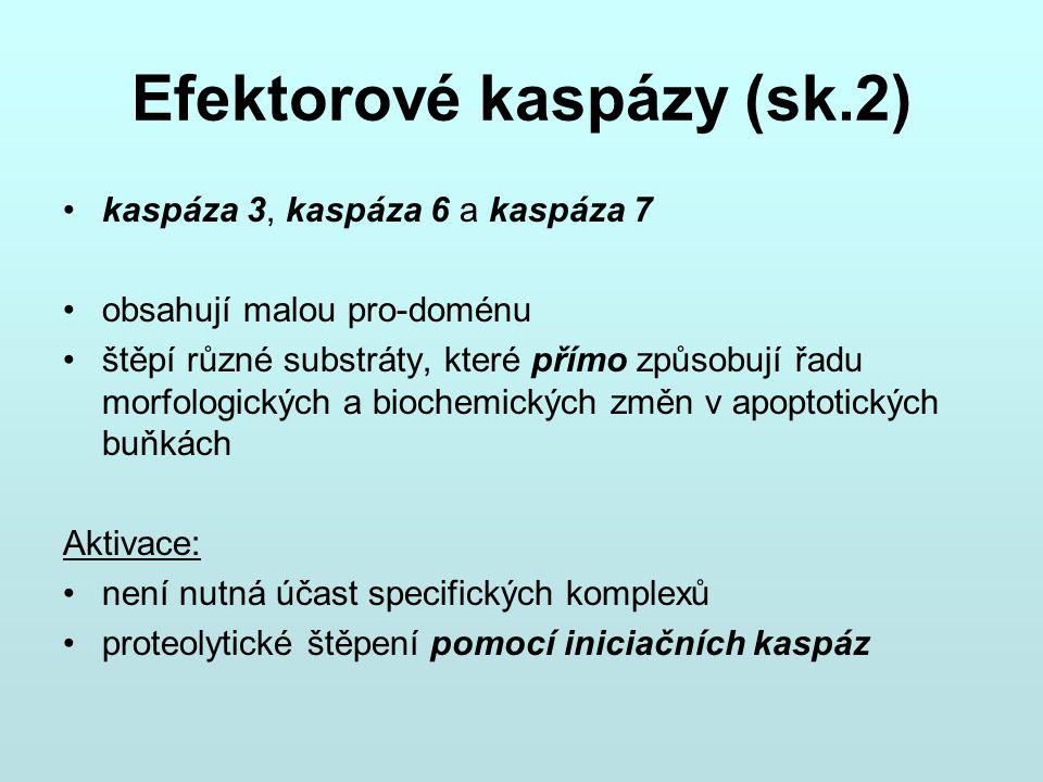 Efektorové kaspázy (sk.2) kaspáza 3, kaspáza 6 a kaspáza 7 obsahují malou pro-doménu štěpí různé substráty, které přímo způsobují řadu morfologických