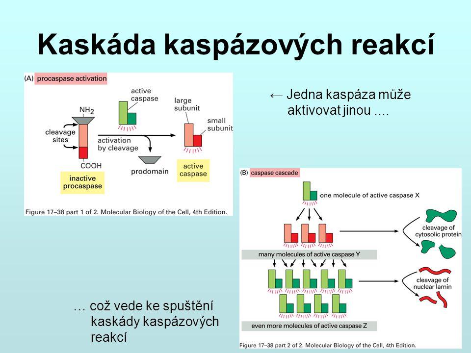 Kaskáda kaspázových reakcí ← Jedna kaspáza může aktivovat jinou.... … což vede ke spuštění kaskády kaspázových reakcí