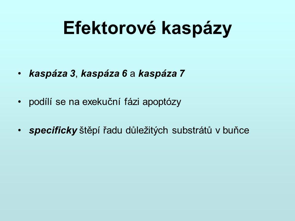 Efektorové kaspázy kaspáza 3, kaspáza 6 a kaspáza 7 podílí se na exekuční fázi apoptózy specificky štěpí řadu důležitých substrátů v buňce