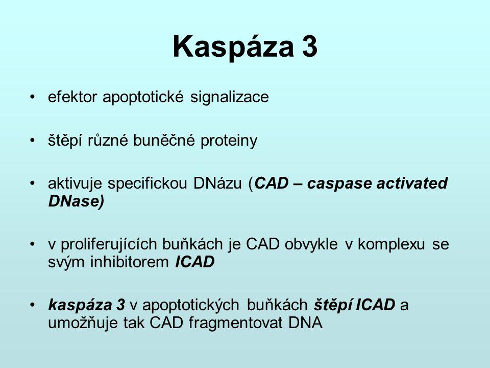 Kaspáza 3 efektor apoptotické signalizace štěpí různé buněčné proteiny aktivuje specifickou DNázu (CAD – caspase activated DNase) v proliferujících bu