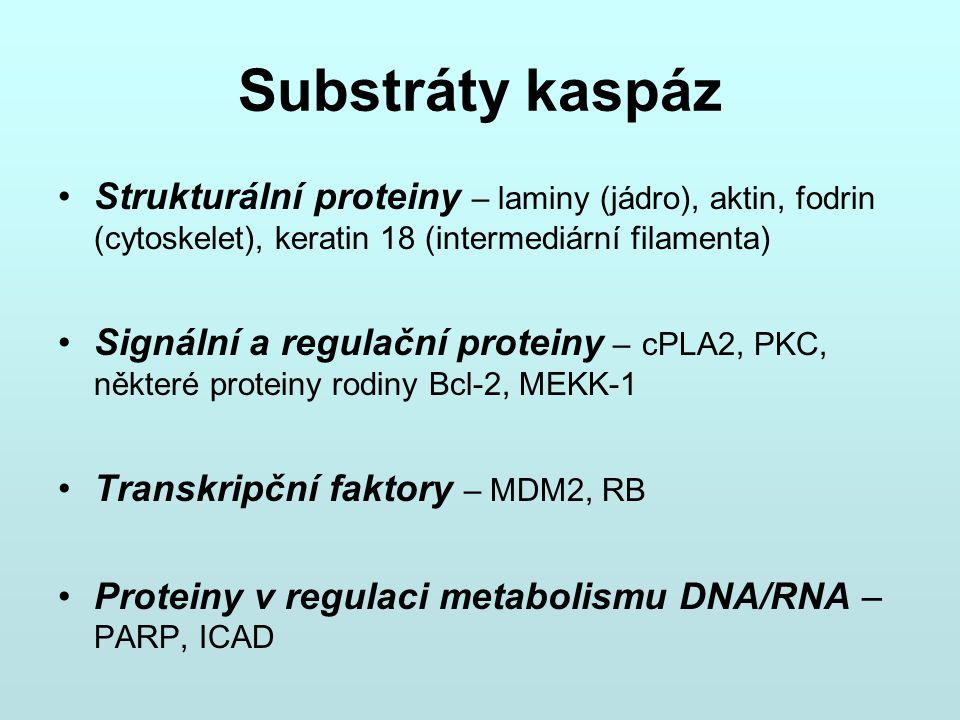 Substráty kaspáz Strukturální proteiny – laminy (jádro), aktin, fodrin (cytoskelet), keratin 18 (intermediární filamenta) Signální a regulační protein