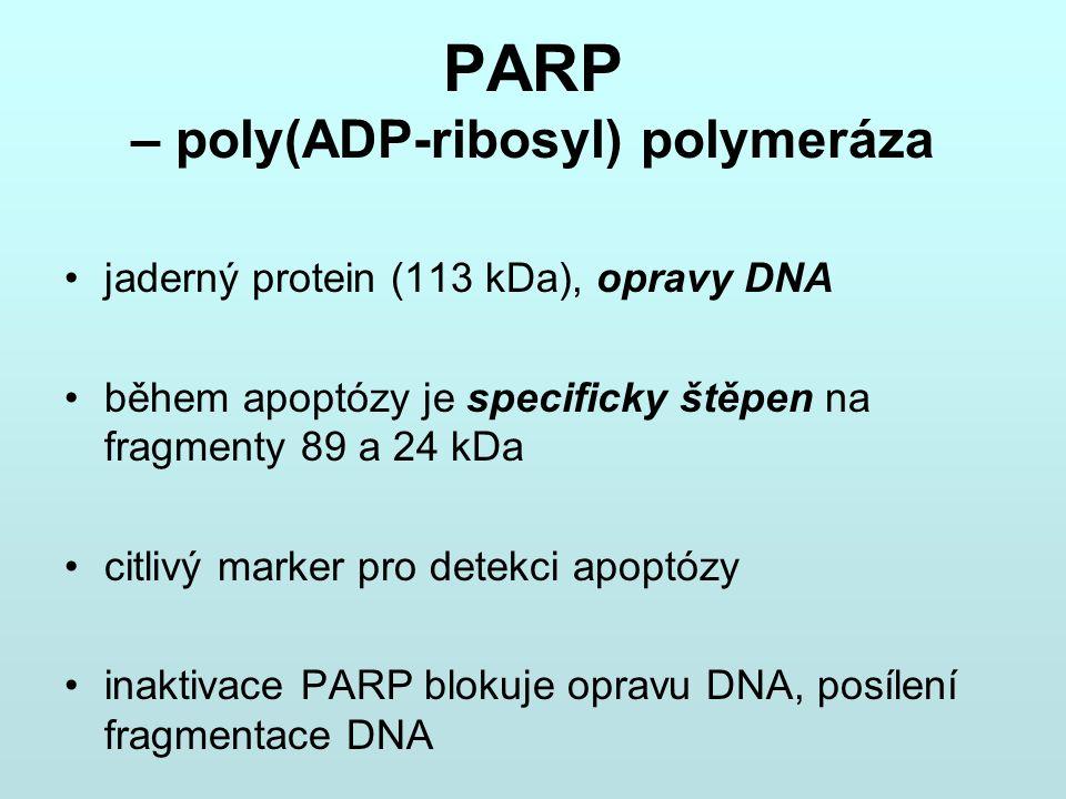 PARP – poly(ADP-ribosyl) polymeráza jaderný protein (113 kDa), opravy DNA během apoptózy je specificky štěpen na fragmenty 89 a 24 kDa citlivý marker