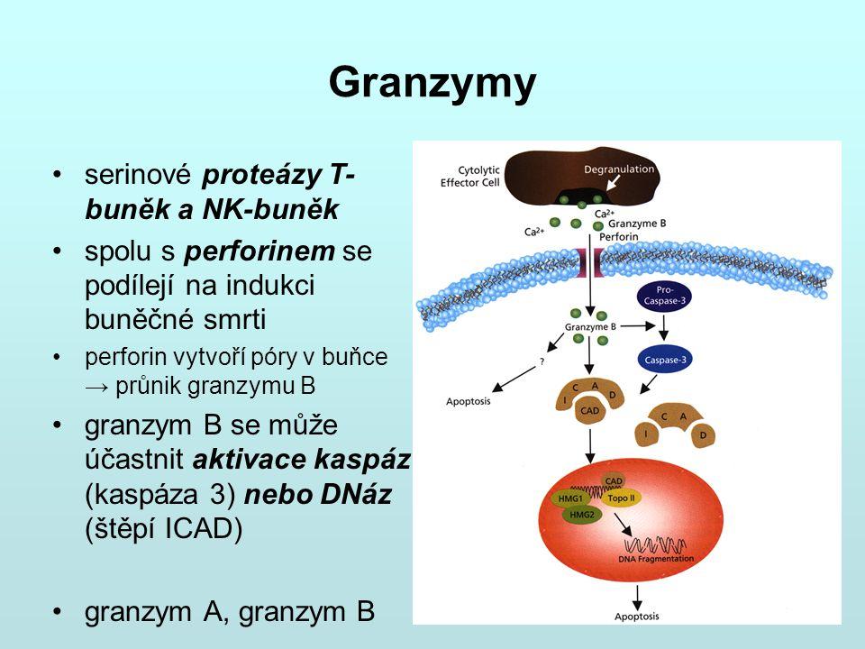 Granzymy serinové proteázy T- buněk a NK-buněk spolu s perforinem se podílejí na indukci buněčné smrti perforin vytvoří póry v buňce → průnik granzymu