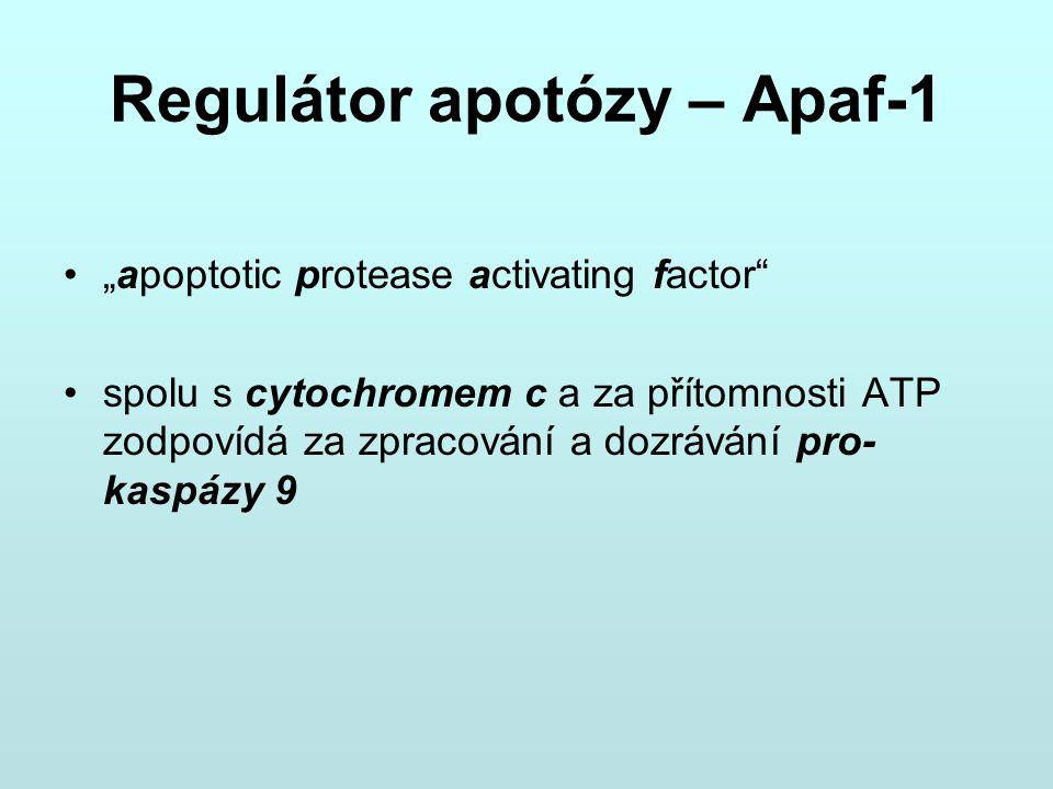 """Regulátor apotózy – Apaf-1 """"apoptotic protease activating factor"""" spolu s cytochromem c a za přítomnosti ATP zodpovídá za zpracování a dozrávání pro-"""
