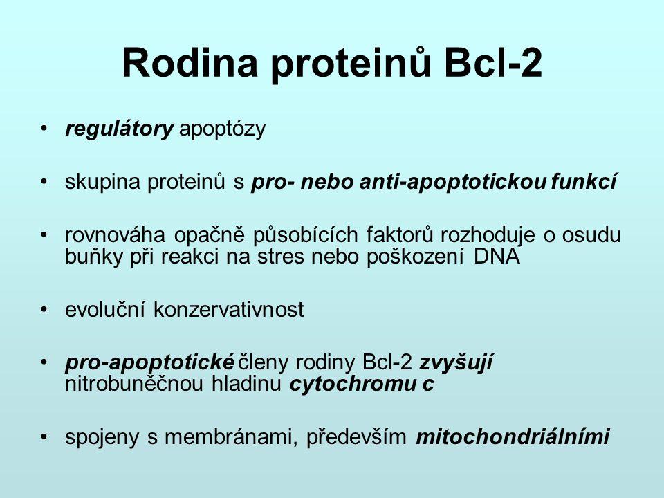 Rodina proteinů Bcl-2 regulátory apoptózy skupina proteinů s pro- nebo anti-apoptotickou funkcí rovnováha opačně působících faktorů rozhoduje o osudu