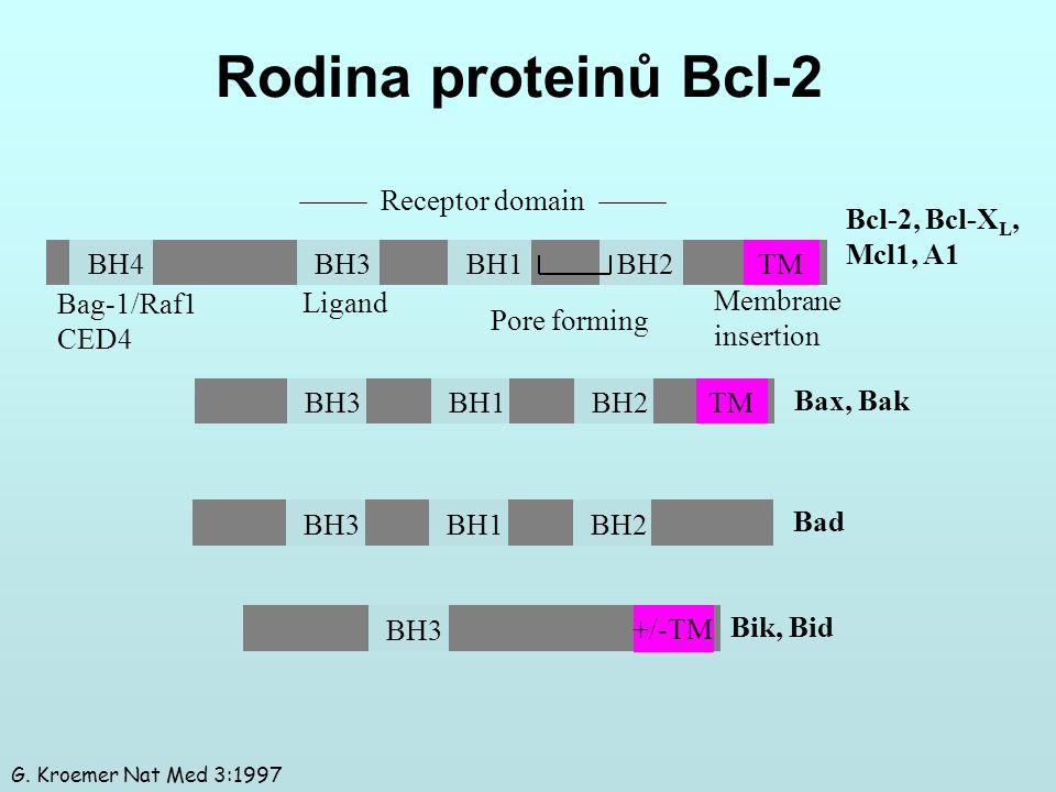 Rodina proteinů Bcl-2 BH3BH1BH2 TM Bax, Bak BH3BH1BH2 Bad BH3 +/-TM Bik, Bid Bcl-2, Bcl-X L, Mcl1, A1 BH4BH3BH1BH2 TM Bag-1/Raf1 CED4 Ligand Pore form