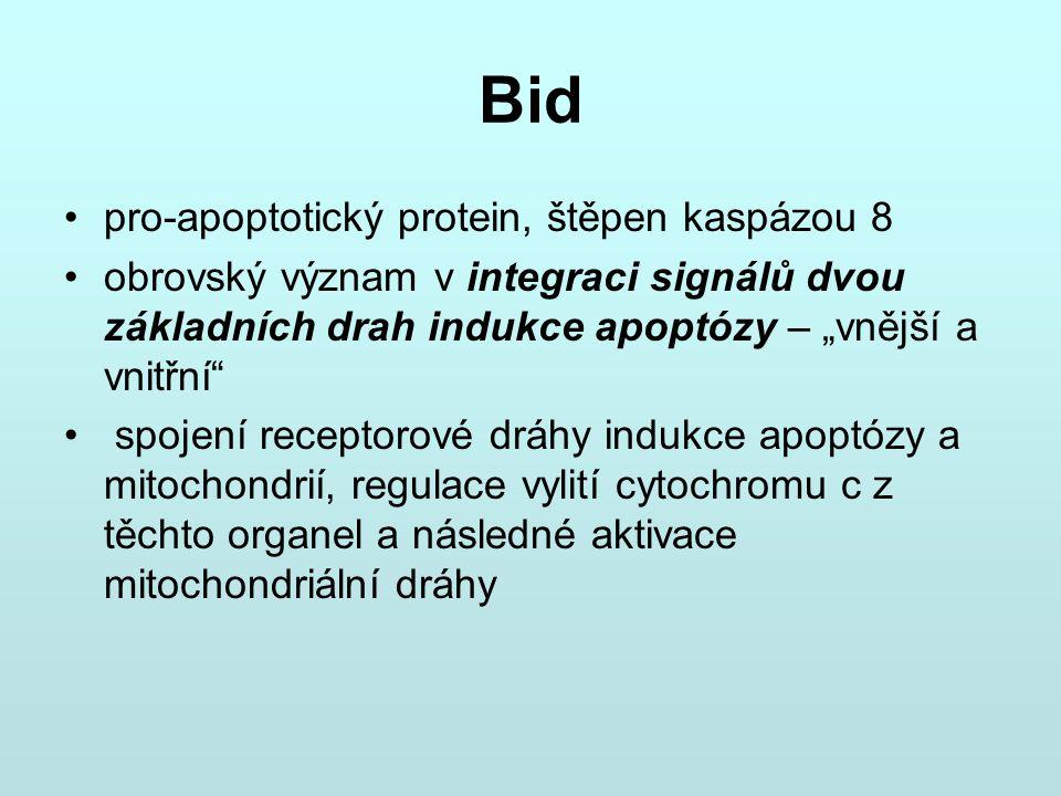 """Bid pro-apoptotický protein, štěpen kaspázou 8 obrovský význam v integraci signálů dvou základních drah indukce apoptózy – """"vnější a vnitřní"""" spojení"""