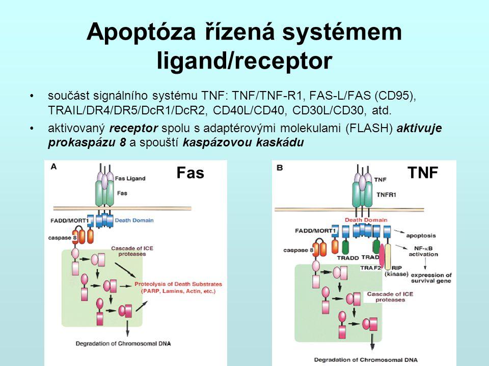 Apoptóza řízená systémem ligand/receptor součást signálního systému TNF: TNF/TNF-R1, FAS-L/FAS (CD95), TRAIL/DR4/DR5/DcR1/DcR2, CD40L/CD40, CD30L/CD30