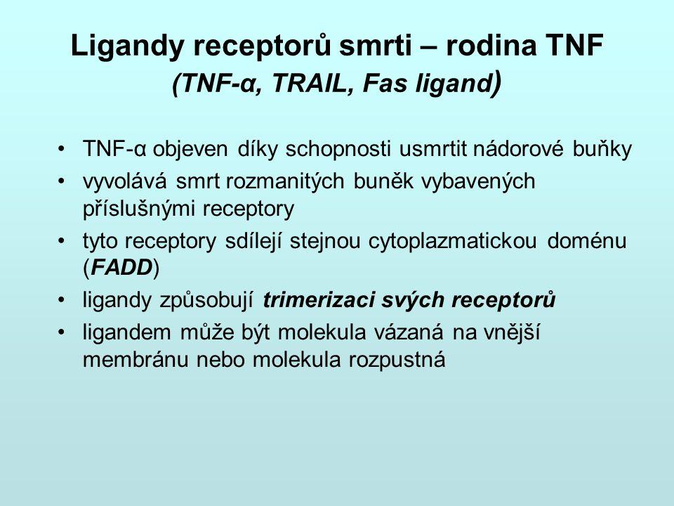 Ligandy receptorů smrti – rodina TNF (TNF-α, TRAIL, Fas ligand ) TNF-α objeven díky schopnosti usmrtit nádorové buňky vyvolává smrt rozmanitých buněk