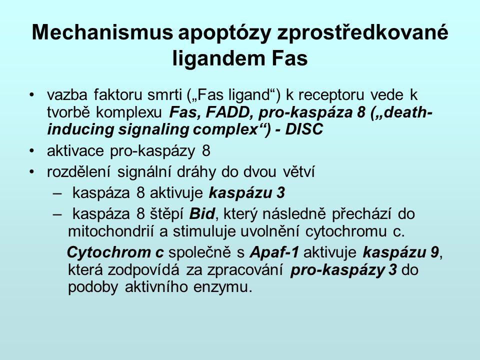 """Mechanismus apoptózy zprostředkované ligandem Fas vazba faktoru smrti (""""Fas ligand"""") k receptoru vede k tvorbě komplexu Fas, FADD, pro-kaspáza 8 (""""dea"""