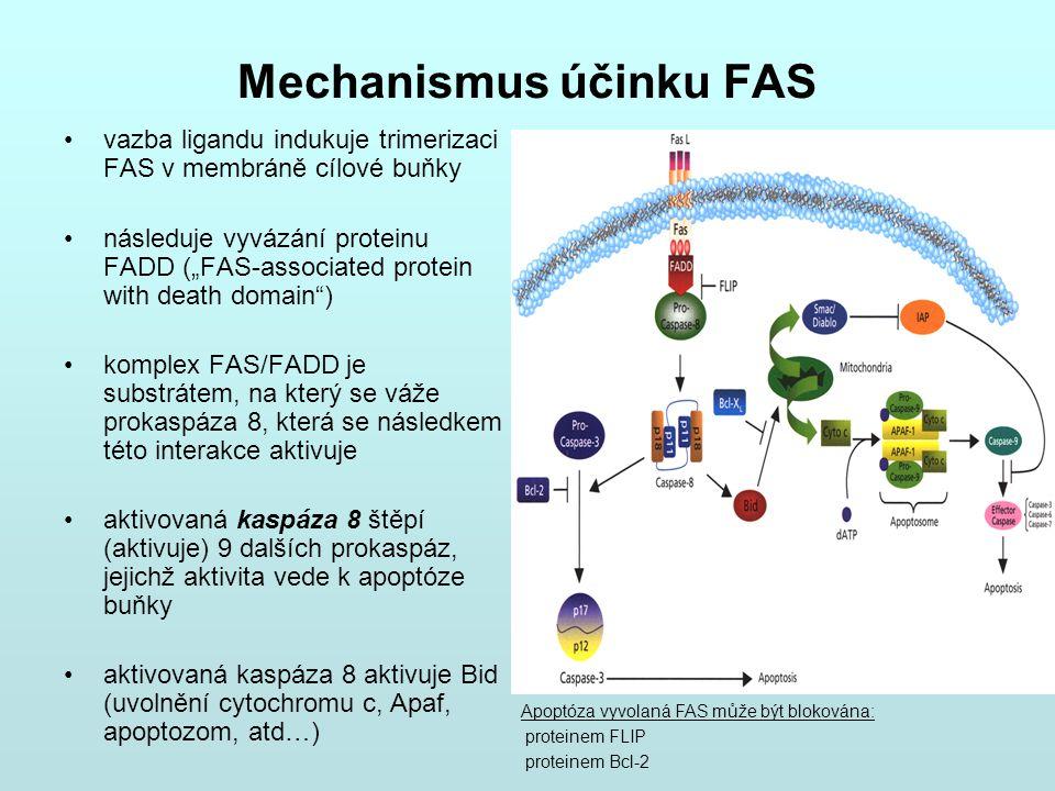 """Mechanismus účinku FAS vazba ligandu indukuje trimerizaci FAS v membráně cílové buňky následuje vyvázání proteinu FADD (""""FAS-associated protein with d"""