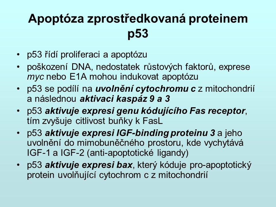 Apoptóza zprostředkovaná proteinem p53 p53 řídí proliferaci a apoptózu poškození DNA, nedostatek růstových faktorů, exprese myc nebo E1A mohou indukov