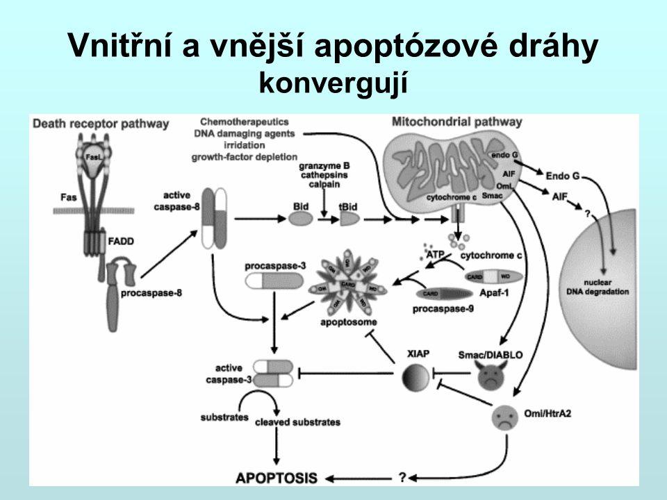 Vnitřní a vnější apoptózové dráhy konvergují