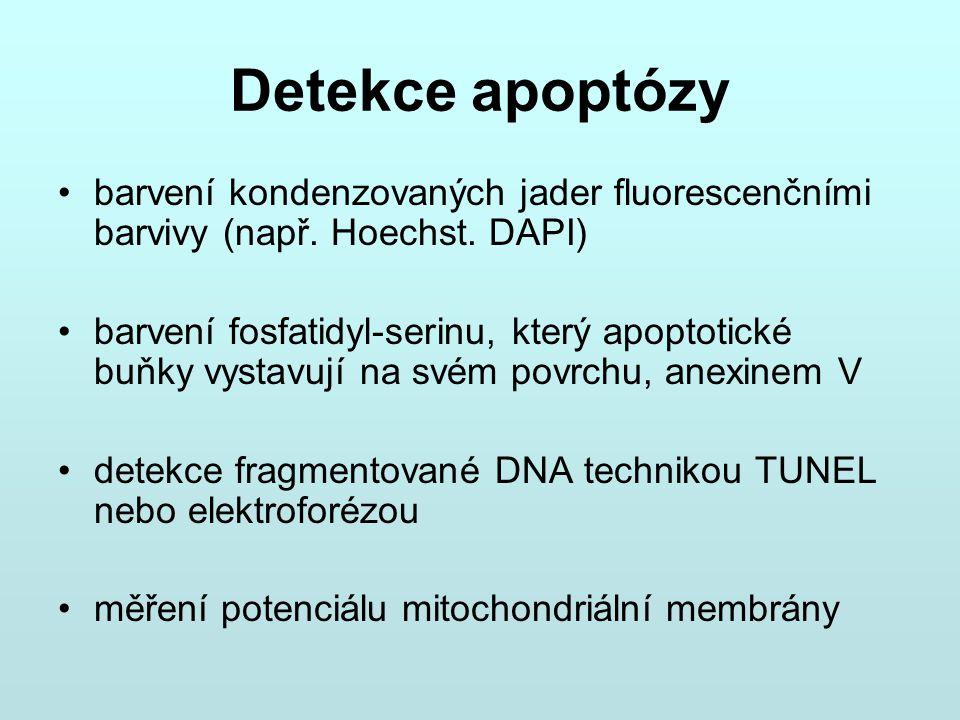 Detekce apoptózy barvení kondenzovaných jader fluorescenčními barvivy (např. Hoechst. DAPI) barvení fosfatidyl-serinu, který apoptotické buňky vystavu