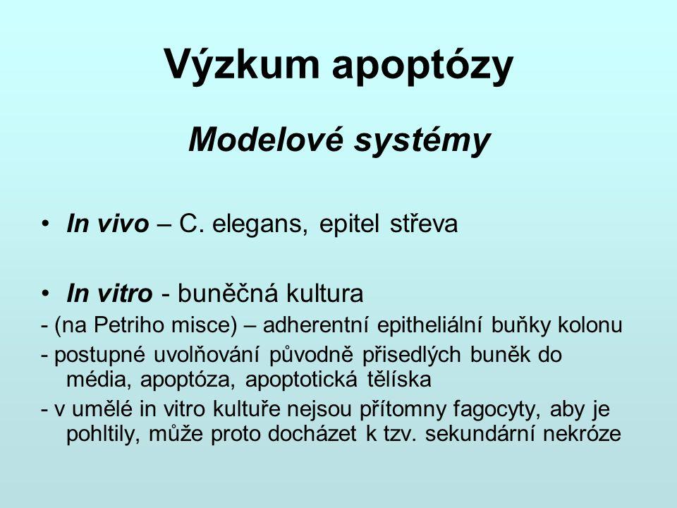 Výzkum apoptózy Modelové systémy In vivo – C. elegans, epitel střeva In vitro - buněčná kultura - (na Petriho misce) – adherentní epitheliální buňky k