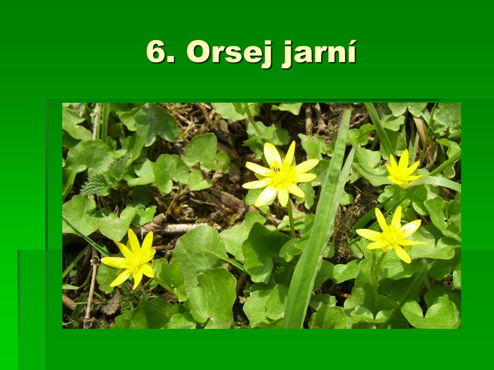 6. Orsej jarní