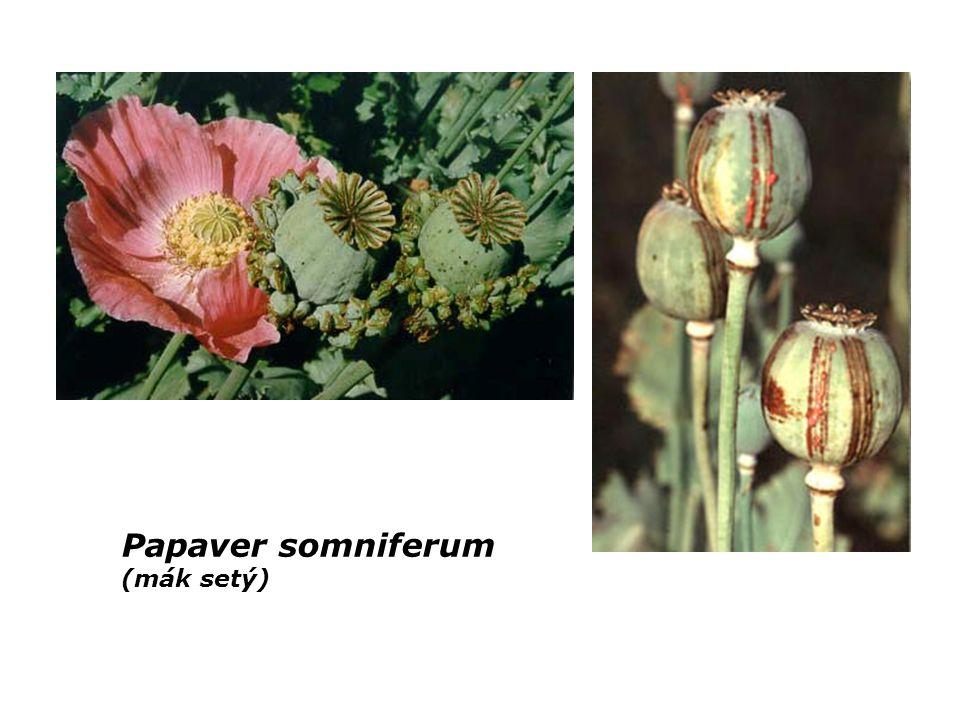 Papaver somniferum (mák setý)