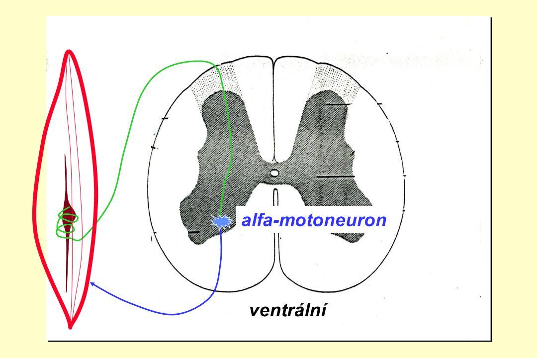 ventrální zadní boční přední roh alfa-motoneuron