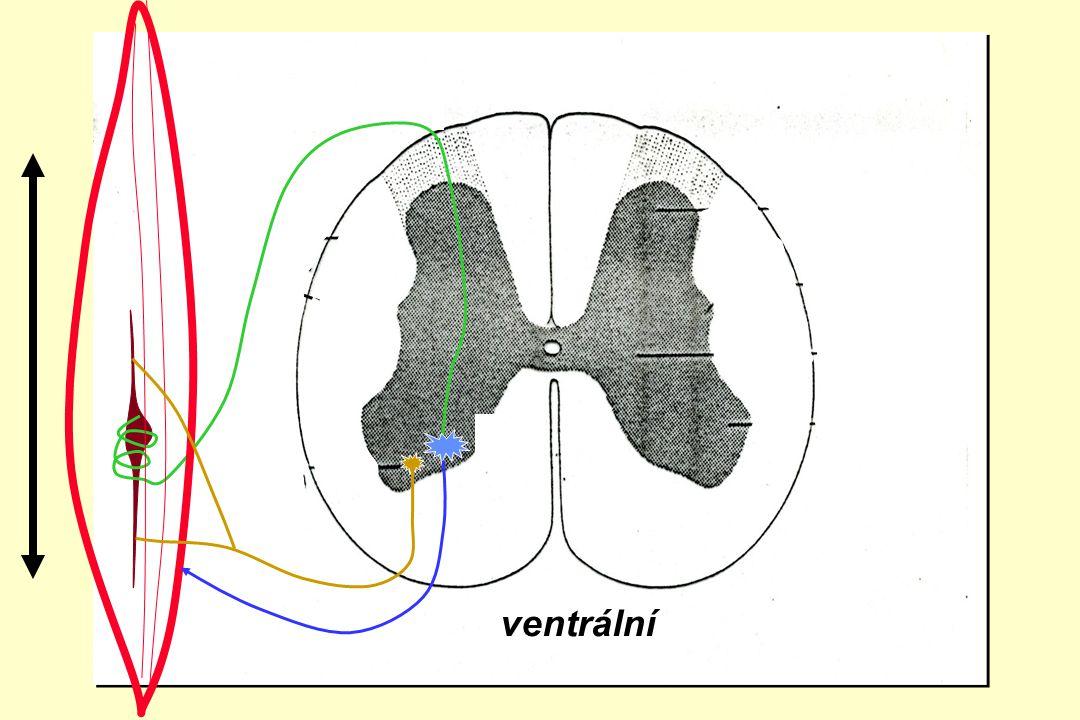 ventrální zadní boční přední roh