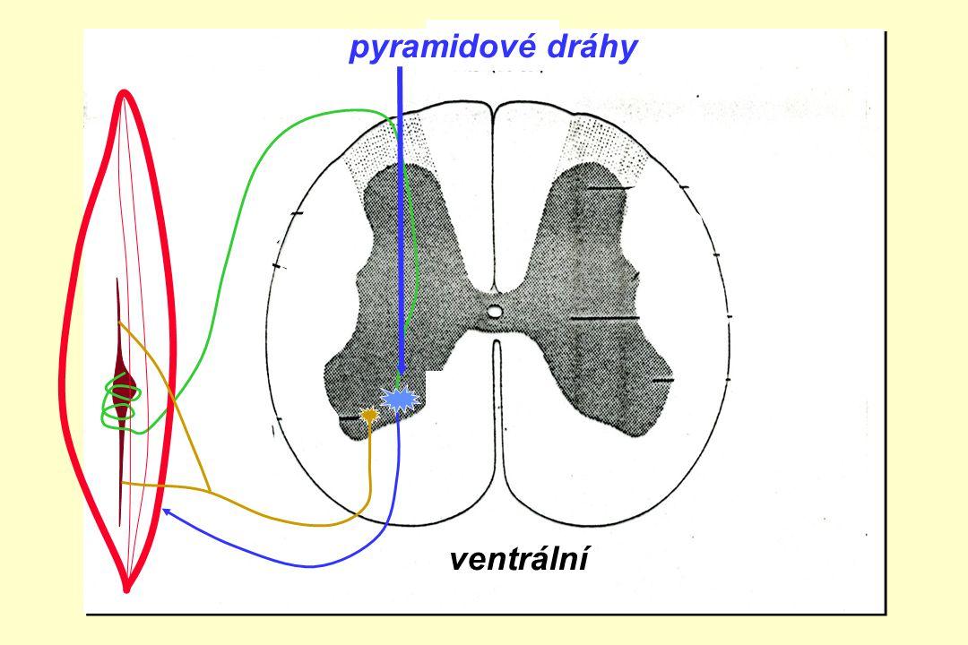 ventrální zadní boční přední roh pyramidové dráhy