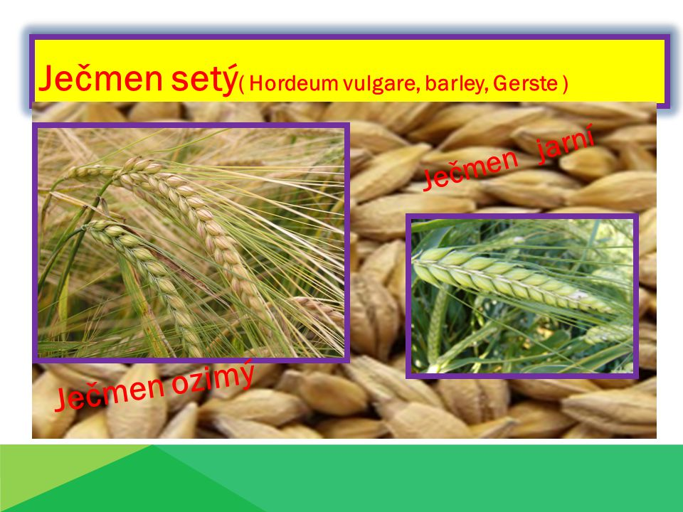 Ječmen setý ( Hordeum vulgare, barley, Gerste ) Ječmen ozimý Ječmen jarní