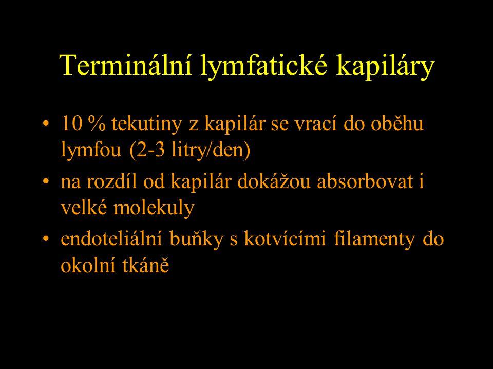 Terminální lymfatické kapiláry 10 % tekutiny z kapilár se vrací do oběhu lymfou (2-3 litry/den) na rozdíl od kapilár dokážou absorbovat i velké moleku