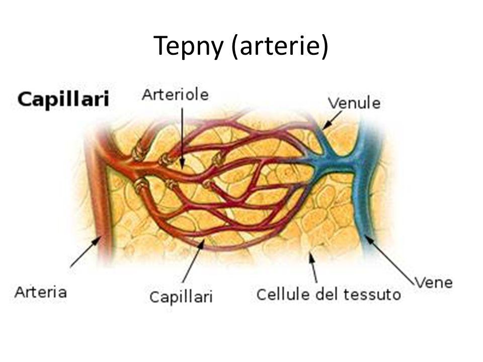 Vlásečnice (kapiláry) propojují tepénky a žilky endotel umožňují průnik leukocytů z krve do tkání a výměnu látek mezi krví a tkáněmi, resp.
