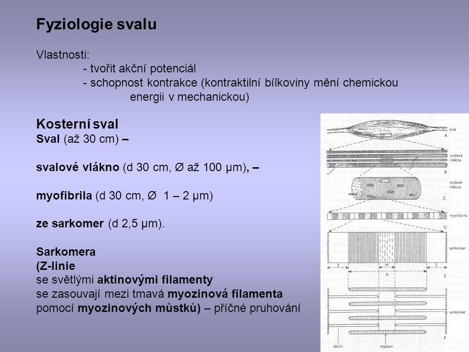 Kosterní sval Sval (až 30 cm) – svalové vlákno (d 30 cm, Ø až 100 μm), – myofibrila (d 30 cm, Ø 1 – 2 μm) ze sarkomer (d 2,5 μm). Sarkomera (Z-linie s