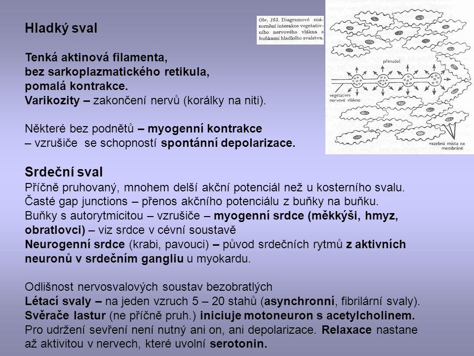 Hladký sval Tenká aktinová filamenta, bez sarkoplazmatického retikula, pomalá kontrakce. Varikozity – zakončení nervů (korálky na niti). Některé bez p