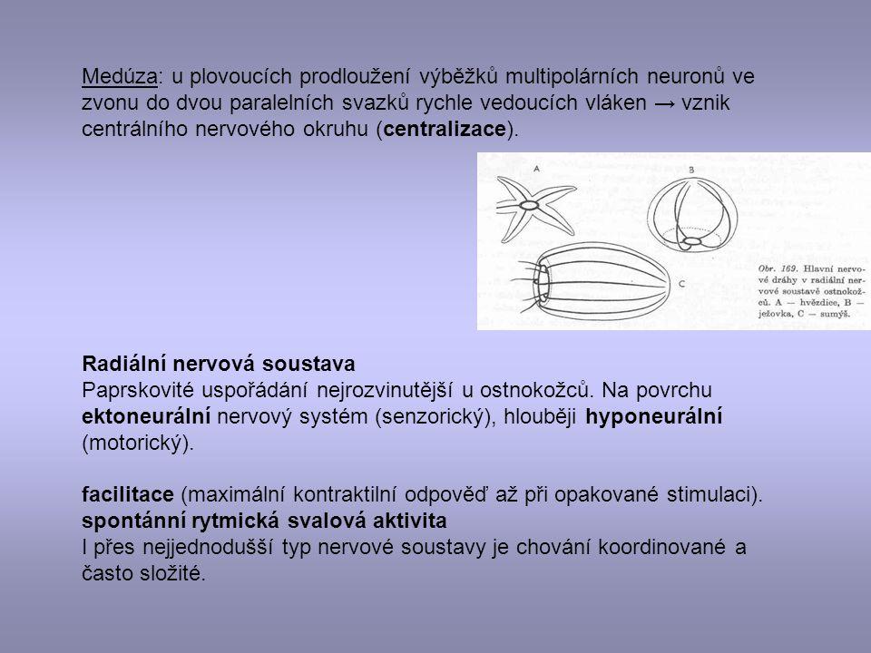 Medúza: u plovoucích prodloužení výběžků multipolárních neuronů ve zvonu do dvou paralelních svazků rychle vedoucích vláken → vznik centrálního nervov