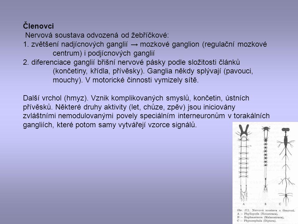 Členovci Nervová soustava odvozená od žebříčkové: 1. zvětšení nadjícnových ganglií → mozkové ganglion (regulační mozkové centrum) i podjícnových gangl