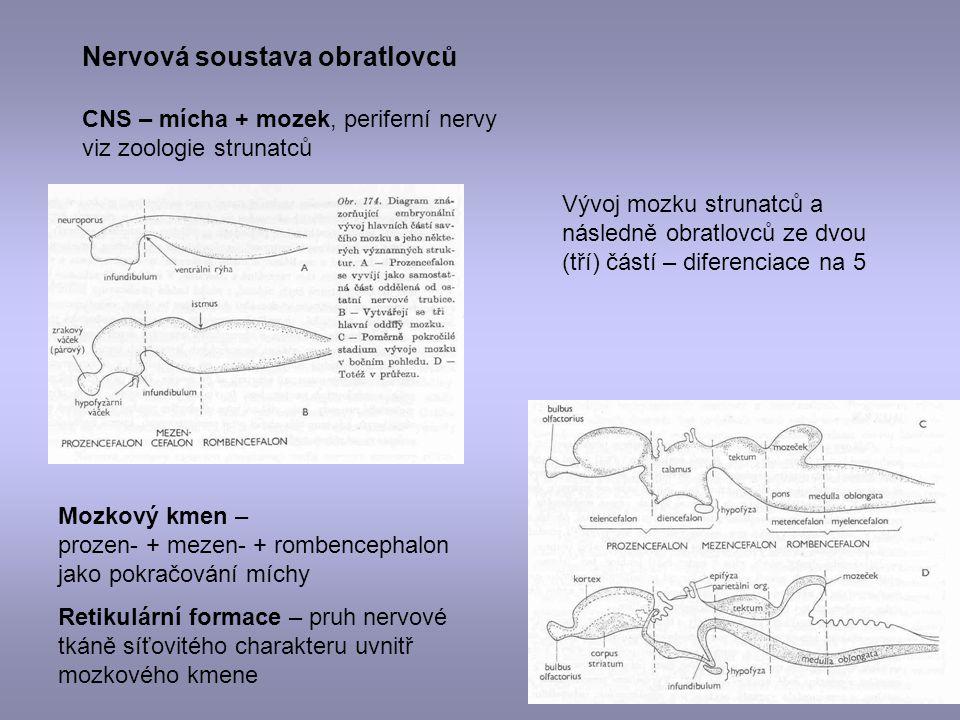 Nervová soustava obratlovců CNS – mícha + mozek, periferní nervy viz zoologie strunatců Vývoj mozku strunatců a následně obratlovců ze dvou (tří) část