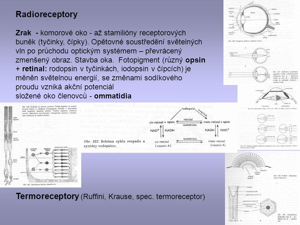 Radioreceptory Zrak - komorové oko - až stamilióny receptorových buněk (tyčinky, čípky). Opětovné soustředění světelných vln po průchodu optickým syst