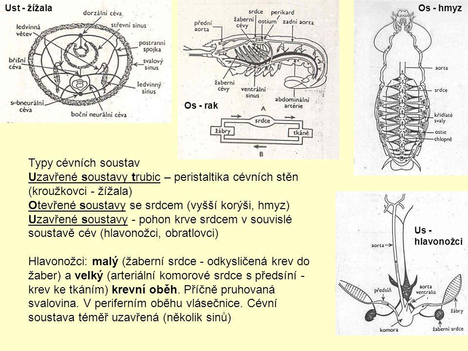 Typy cévních soustav Uzavřené soustavy trubic – peristaltika cévních stěn (kroužkovci - žížala) Otevřené soustavy se srdcem (vyšší korýši, hmyz) Uzavřené soustavy - pohon krve srdcem v souvislé soustavě cév (hlavonožci, obratlovci) Hlavonožci: malý (žaberní srdce - odkysličená krev do žaber) a velký (arteriální komorové srdce s předsíní - krev ke tkáním) krevní oběh.