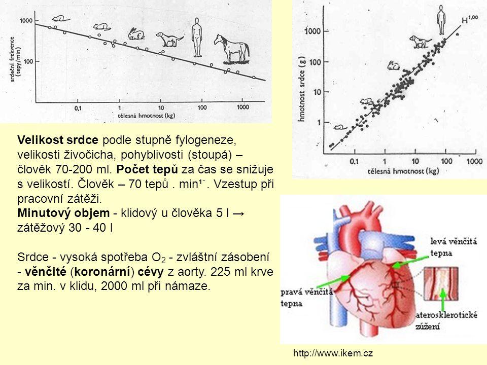 Velikost srdce podle stupně fylogeneze, velikosti živočicha, pohyblivosti (stoupá) – člověk 70-200 ml. Počet tepů za čas se snižuje s velikostí. Člově