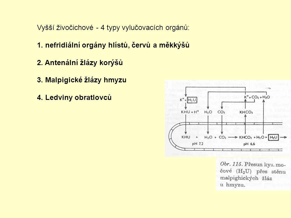 Vyšší živočichové - 4 typy vylučovacích orgánů: 1. nefridiální orgány hlístů, červů a měkkýšů 2. Antenální žlázy korýšů 3. Malpigické žlázy hmyzu 4. L