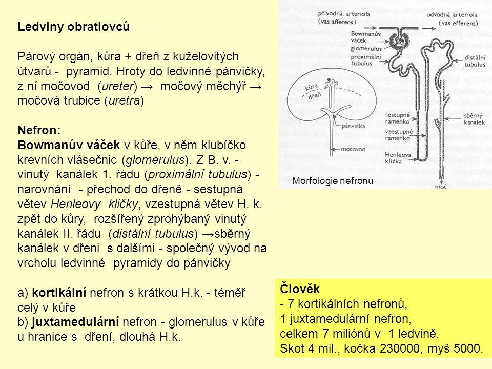 Ledviny obratlovců Párový orgán, kůra + dřeň z kuželovitých útvarů - pyramid. Hroty do ledvinné pánvičky, z ní močovod (ureter) → močový měchýř → močo