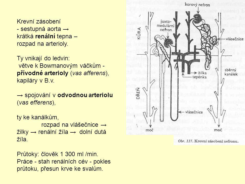 Krevní zásobení - sestupná aorta → krátká renální tepna – rozpad na arterioly. Ty vnikají do ledvin: větve k Bowmanovým váčkům - přívodné arterioly (v