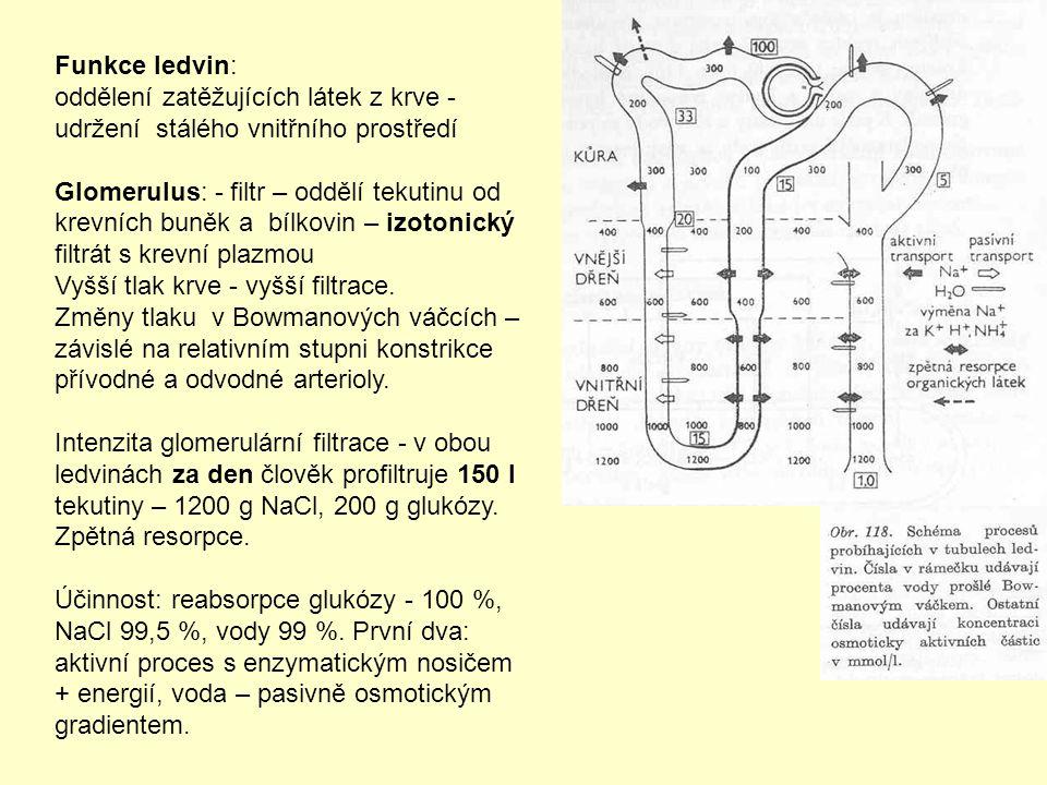 Funkce ledvin: oddělení zatěžujících látek z krve - udržení stálého vnitřního prostředí Glomerulus: - filtr – oddělí tekutinu od krevních buněk a bílkovin – izotonický filtrát s krevní plazmou Vyšší tlak krve - vyšší filtrace.