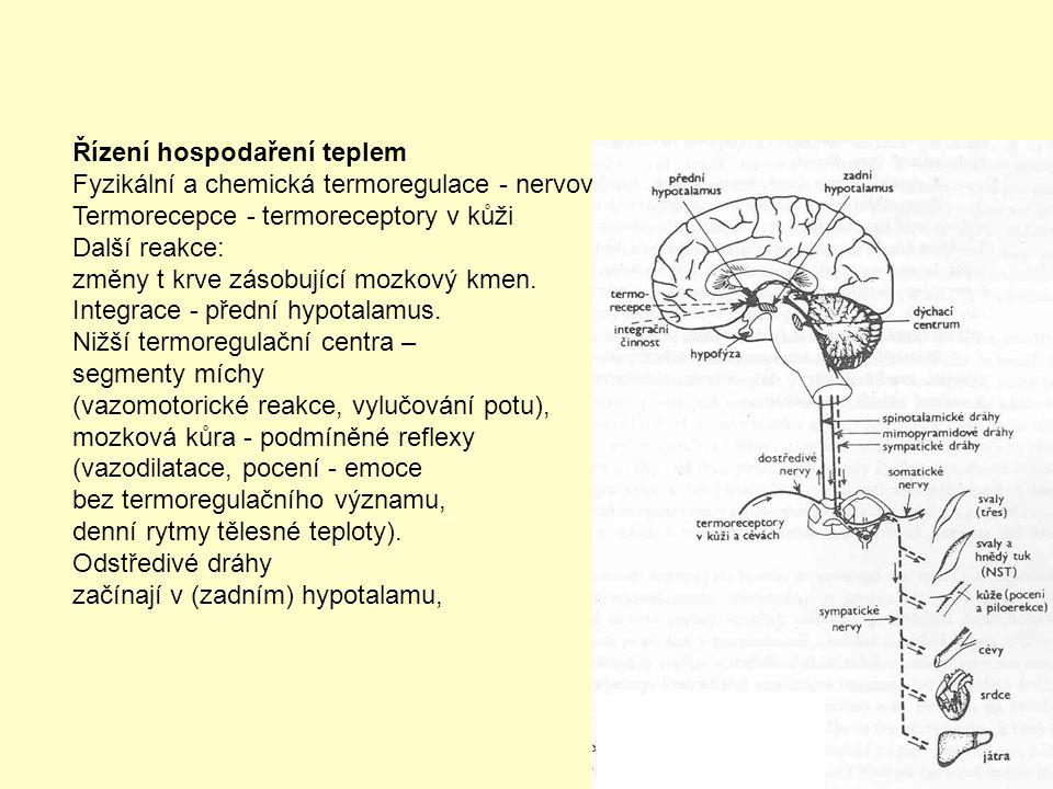 Řízení hospodaření teplem Fyzikální a chemická termoregulace - nervový a endokrinní systém Termorecepce - termoreceptory v kůži Další reakce: změny t