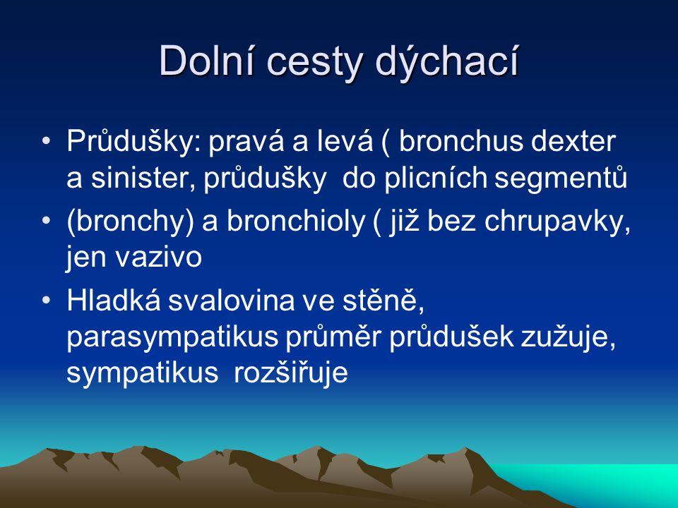 Dolní cesty dýchací Průdušky: pravá a levá ( bronchus dexter a sinister, průdušky do plicních segmentů (bronchy) a bronchioly ( již bez chrupavky, jen