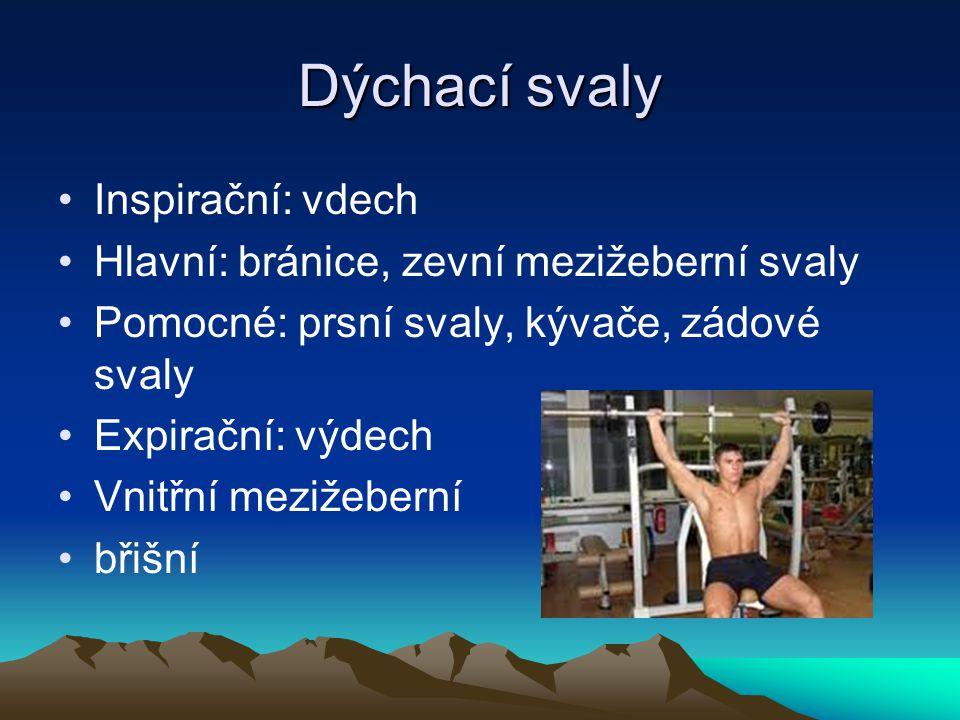 Dýchací svaly Inspirační: vdech Hlavní: bránice, zevní mezižeberní svaly Pomocné: prsní svaly, kývače, zádové svaly Expirační: výdech Vnitřní mezižebe