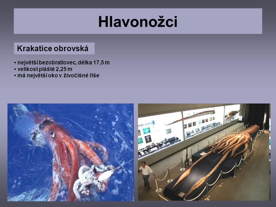 Hlavonožci Krakatice obrovská největší bezobratlovec, délka 17,5 m velikost pláště 2,25 m má největší oko v živočišné říše